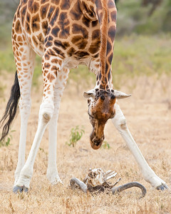 This photograph of a Rothschild Giraffe looking at a Cape Buffalo skull was captured in Lake Nakuru National Park, Kenya, Africa  (2/15). This photograph is protected by International and U.S. Copyright Laws and shall not to be downloaded or reproduced by any means without the formal written permission of Ken Conger Photography.