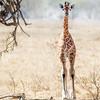 Lake Nakuru Young Rothschild Giraffe