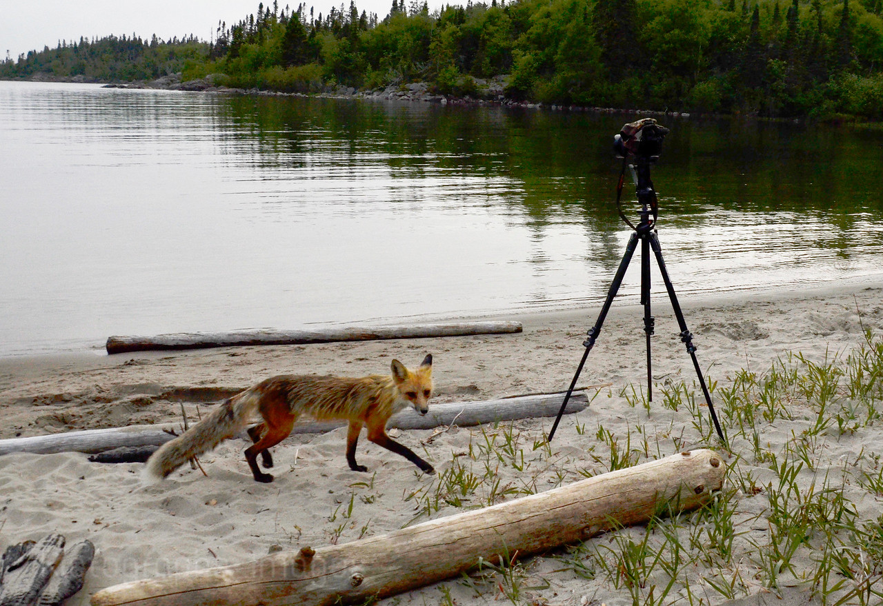 Casque Isles Hiking Trail, Foxy At The Beach; Ric Evoy; Rictographs Images