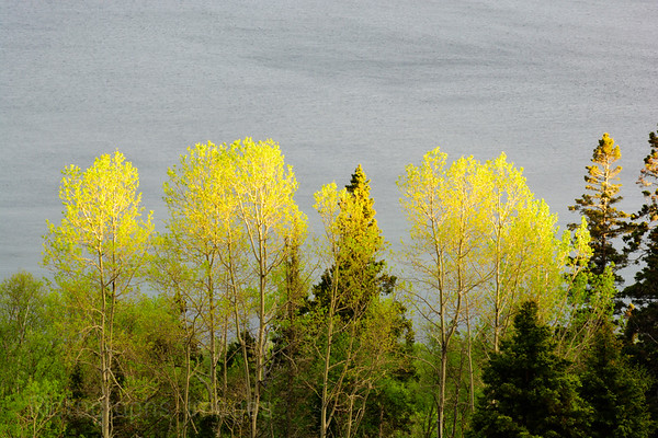 Trees Growing On Lake Superior's Coast.