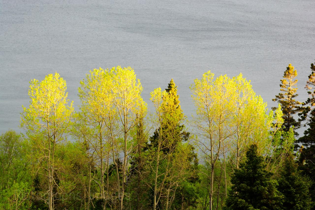 Trees Growing On Lake Superior's Coast.