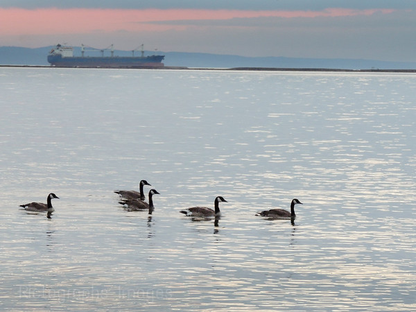 Canada Geese Swimming By A Shipping Freighter In Lake Superior, Rictographs Images