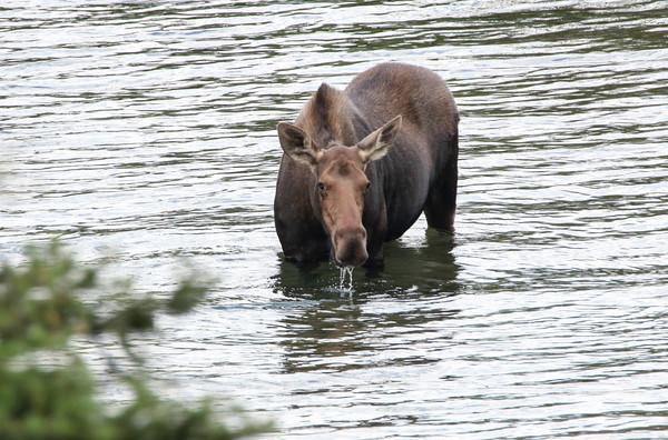 Moose 1304