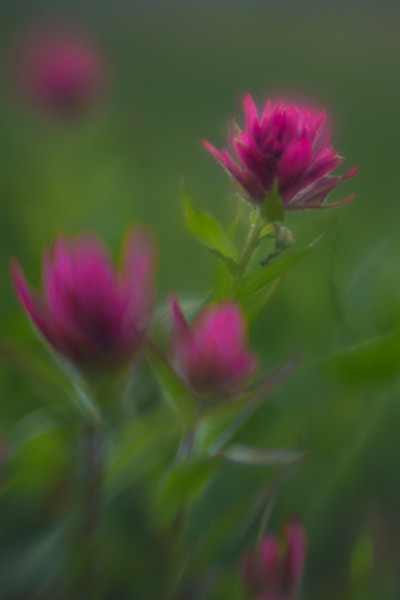 Paintbrush, Logan Pass, Glacier National Park (lens baby single glass optic)
