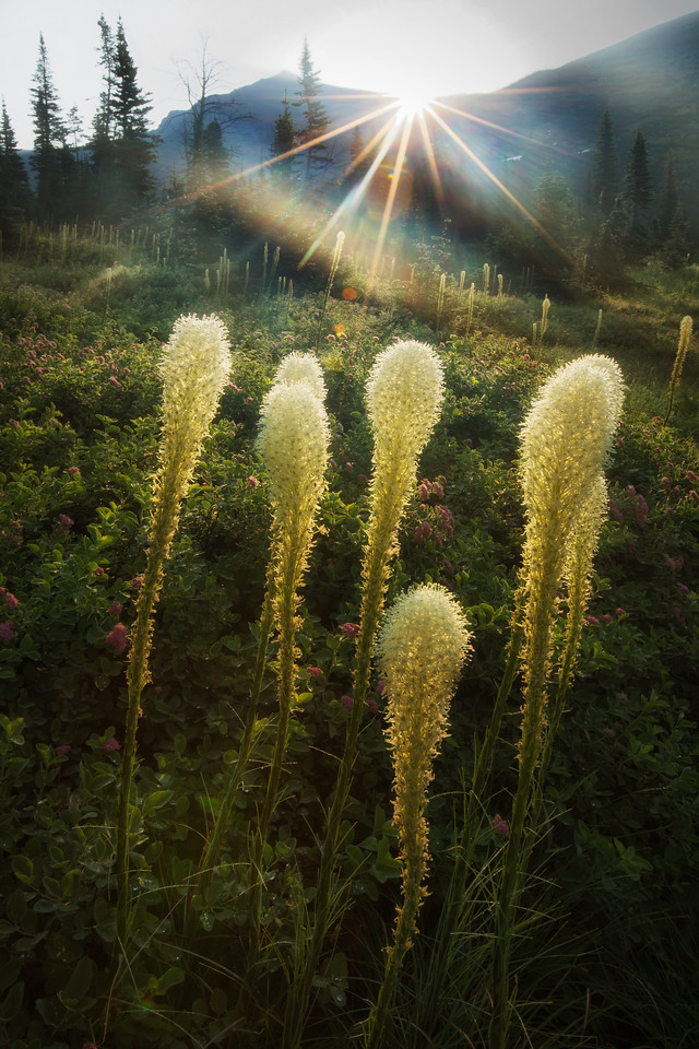 Beargrass at Morning Star Lake