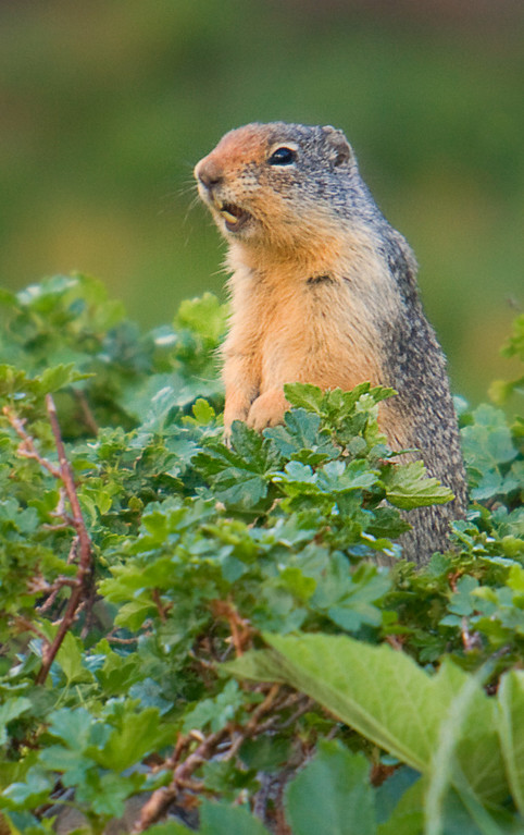 Columbian Ground Squirrel, Logan Pass