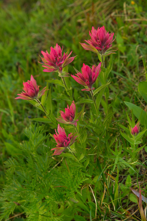 Paintbrush.  Lunch Creek, Glacier National Park