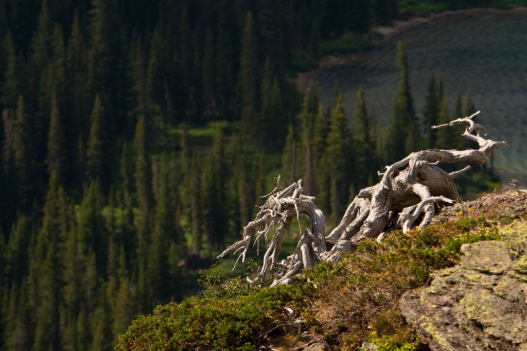 Dead Tree Roots Above Grinnell Lake