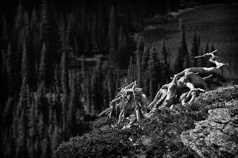 Dead Tree Roots Above Grinnell Lake in BW