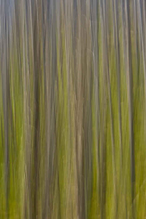 Lodgepole Pine Abstract<br /> (created in-camera)