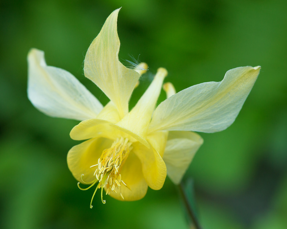 Columbine.  Lunch Creek, Glacier National Park