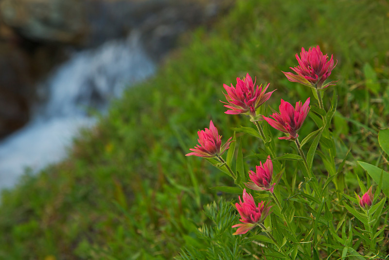 Paintbrush, with Lunch Creek in the background.  Glacier National Park