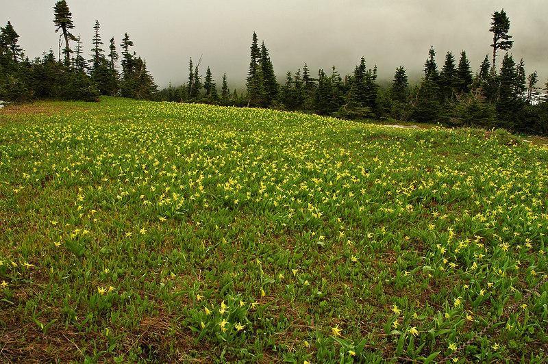 Glacier Lily at Logan Pass