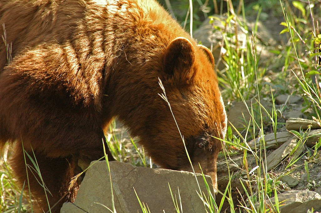 Brown Bear near Two Medicine Ridge