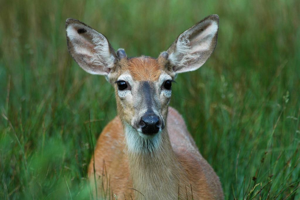 Button buck Mule Deer, near Roughlock Falls, SD