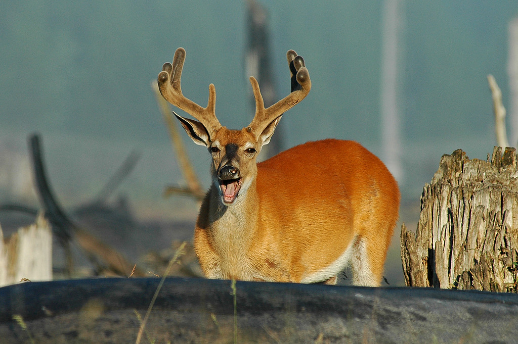 Yawning Mule Deer in velvet, near Bowman Lake, MT