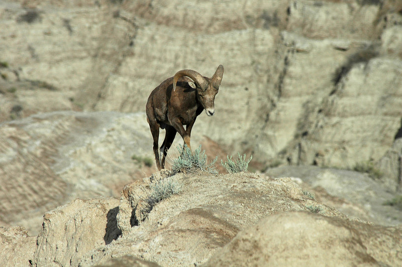 Bighorn Sheep, Badlands, SD