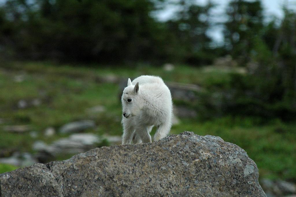 Mountain Goat at Garden Wall Overlook