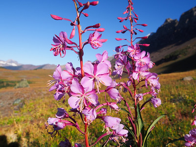 Day 4/5 - Willowherb wildflower, Glacier NP