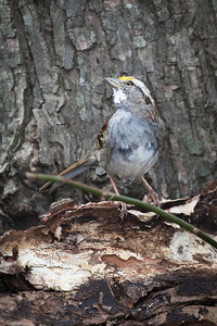 White Throated Sparrow - Bluemont Park