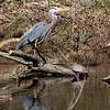 Blue Heron - Sparrow Pond