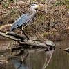 Blue Heron - Sparrow Pond