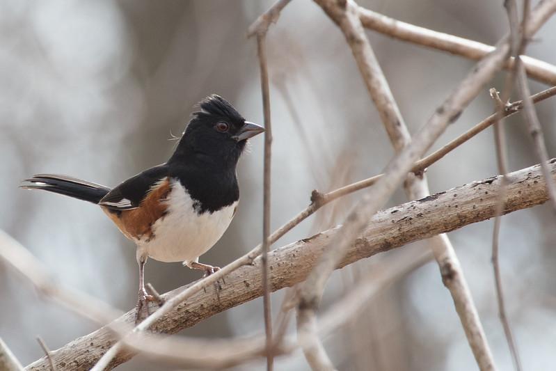 Eastern Towhee male