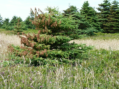Impact of Hurricane Arthur on spruce trees at Hemeon Head, NS