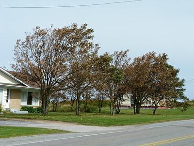 Impact of Hurricane Arthur on maple trees in Clark's Harbour, NS