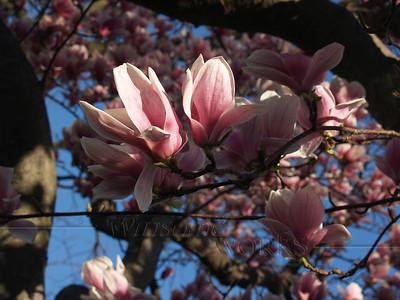 Glorious Magnolia, April Morning 2008