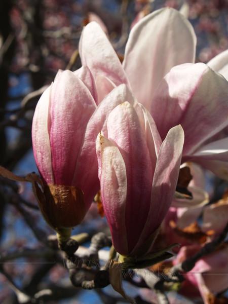 Magnolia Soulangeana Buds