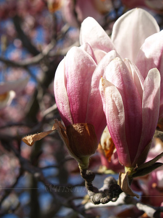 Beautiful Magnolia Soulangeana Buds