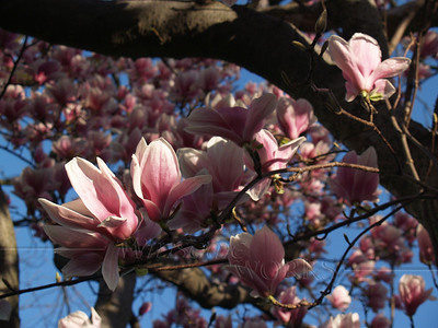 Magnolia soulangeana, morning