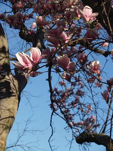 Rambling Magnolia Branches, April Morning 2008