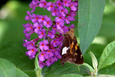8-6 - OK, I'm back to appreciating my own garden, after seeing the glorious scenery of Kenya  Check out this little butterfly (or moth?)  chowing down on the butterfly bush  I love the detail and vibrant colors