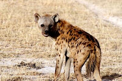 Hyenas 009
