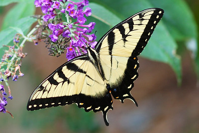 8-9 - This yellow swallowtail butterfly has been snacking on the butterfly bush today  They're fairly common around here, but it's been a long time since I've seen one that's this close to perfect in symmetry
