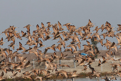 Lot's of Marbled Godwit