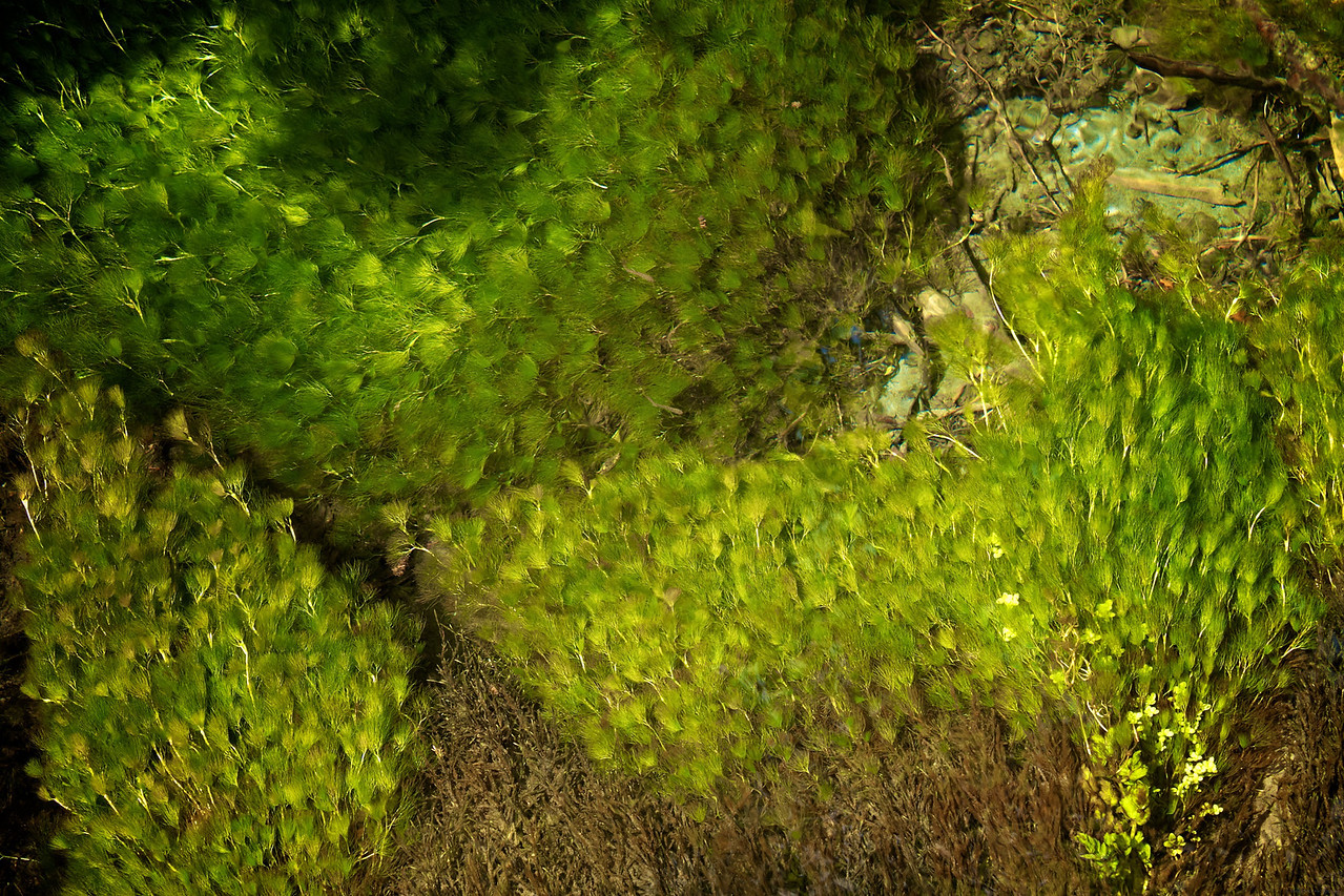 These are plants growing on a shallow stream bottom.