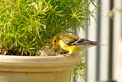 Female Gold Finch on flower pot -- DSC_8423