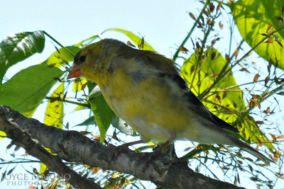 Female Gold Finch -- DSC_8574