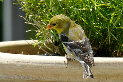 Female Gold Finch -- DSC_8621