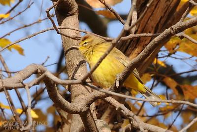 Yellow Warbler -- DSC_7331
