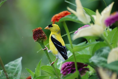 Gold Finch on Zinnia -- DSC_0149