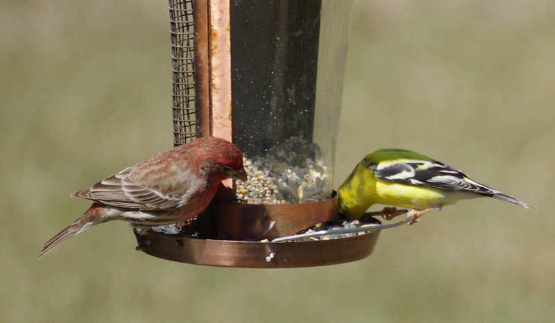 house finch and Goldfinch Males