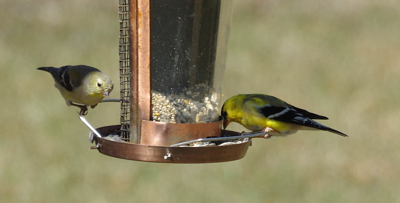 Female Goldfinch and Male Goldfinch