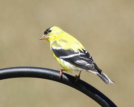 Goldfinch day in my backyard