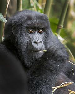 Volcanoes National Park Gorilla