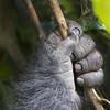 Volcanoes National Park Silverback Gorilla Hand