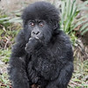 Volcanoes National Park Baby Gorilla